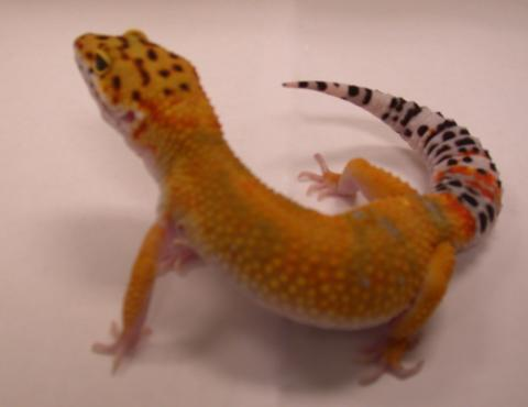 Normal Leopard Gecko