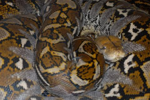 Sulawesi Island Reticulated Python