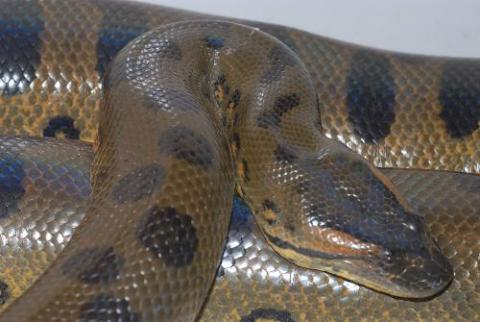 Anaconda Breeder