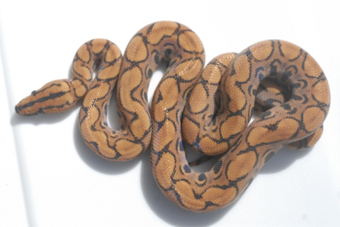 brazilian rainbow boa