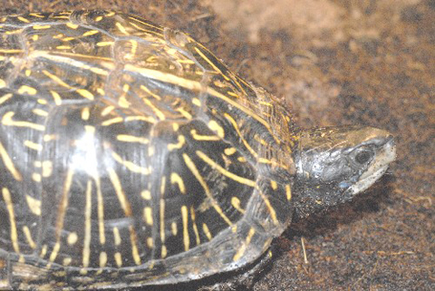 Adult Florida Box Turtle